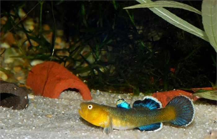 Cá bống sa mạc trong một bể nuôi.