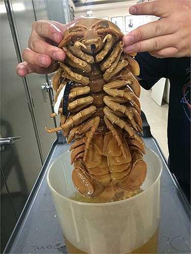 Động vật chân đều khổng lồ. (Giant Isopod)  Loài động vật này sống ở dưới đáy đại dương và mang một hình dáng bề ngoài vô cùng dị dạng. Con trưởng thành có thể dài khoảng 3 - 4 gang tay. Sức ép dưới đáy đại dương khiến chúng sở hữu lớp vỏ vô cùng rắn chắc