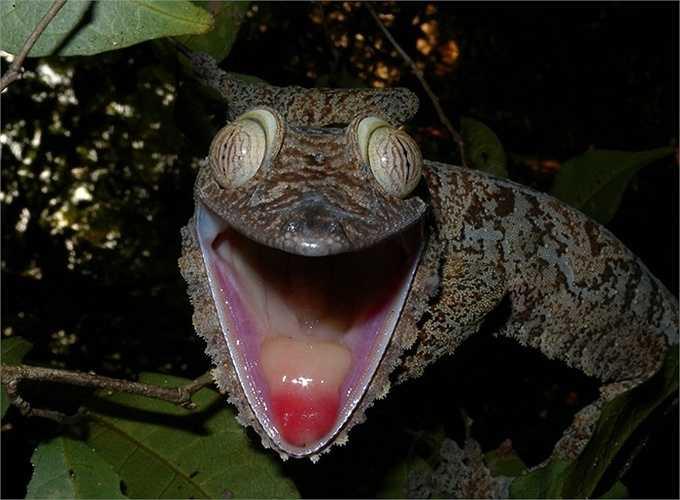 Thằn lằn đuôi lá. Loài thằn lằn này khá nổi tiếng ở vùng Madagascar với vẻ ngoài không thể lẫn vào đâu được. Đặc biệt là ở đôi mắt như mù lòa và cái đuôi của nó giống màu lá để thằn lằn có thể ngụy trang vẻ bề ngoài trên những cành cây cao chót vót
