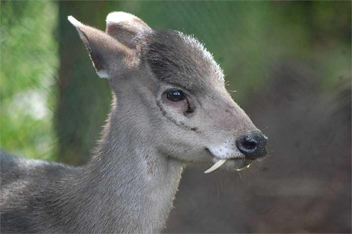Hươu chần. Sống chủ yếu ở vùng Ấn Độ và Trung Quốc, hươu chần là một loài động vật khá đặc biệt với răng nanh nhọn hoắt và dài hơn khá nhiều so với bộ Huwou nai. Thậm chí chúng còn có khả năng sủa như loài chó