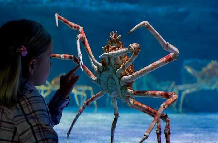 Cua nhện Nhật Bản. Những cái càng dài tới 16 inch của con cua này khiến nó giống một con nhện hơn là cua. Tuy nhiên để có thể sống ở độ sâu hàng chục mét dưới biển thì loài động vật này không thể là nhện. Con cua này khiến người xem nổi da gà ngay từ lần gặp gỡ đầu tiên