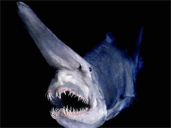Goblin Shark. Loài cá mập này có bề ngoài dị dạng và hiện đang là một trong những giống cá mập quý hiếm hàng đầu trên thế giới. Chiếc mũi hình chiếc xẻng giúp chúng nhận diện thức ăn