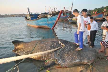 Con cá lai cá mập và cá voi do anh Hùng và các ngư dân lưới được.