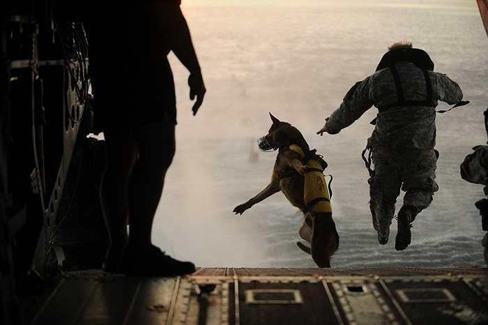 Lính Mỹ thậm chí còn bắt buộc phải nuôi một con chó săn và cùng luyện tập đến mức hiểu nhau hoàn toàn trong các trận chiến. Trong hình là bài tập nhảy dù