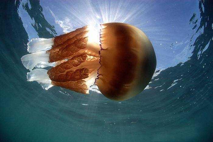 Sứa thông thường có kích thước rất nhỏ nhưng ở bờ biển Dorset (Anh) xuất hiện những con sứa khổng lồ với trọng lượng hơn 32kg, dài 1,5m