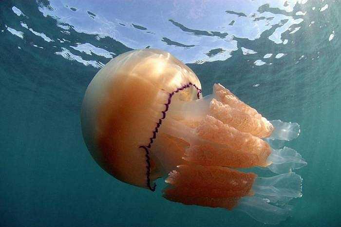 Ông Steve - người chụp ảnh dưới nước hơn 30 năm chưa bao giờ chứng kiến con sứa nào lớn đến như vậy. Không chỉ có một mà rất nhiều con số cỡ lớn dạt vào bờ biển Dorset