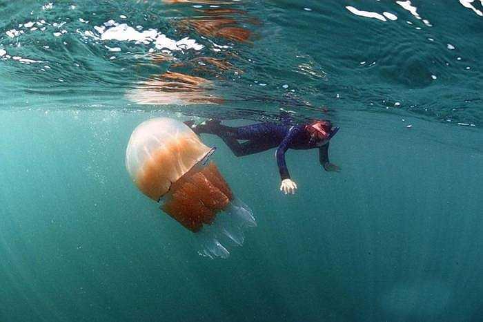 Con sứa có kích thước lớn nếu nhìn cận cảnh, khiến nhiều người có cảm giác như bằng cả một người trưởng thành
