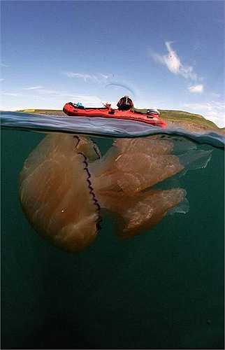 Con sứa có kích thước to lớn như người trưởng thành