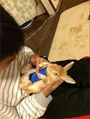 Một tài khoản Twitter ở Nhật Bản đã đăng tải hình ảnh c hú thỏ ôm lấy chiếc điện thoại của chủ nhân như một vỏ bảo vệ (case điện thoại). Bức ảnh nhanh chóng khiến cộng đồng mạng tại xứ sở mặt trời sôi sục. Nhiều người đã cố gắng chụp các bức ảnh tương tự.