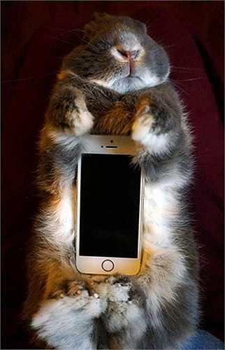 Chú thỏ nhỏ xinh đang nằm ngoan ngoãn ôm chiếc điện thoại của cô chủ