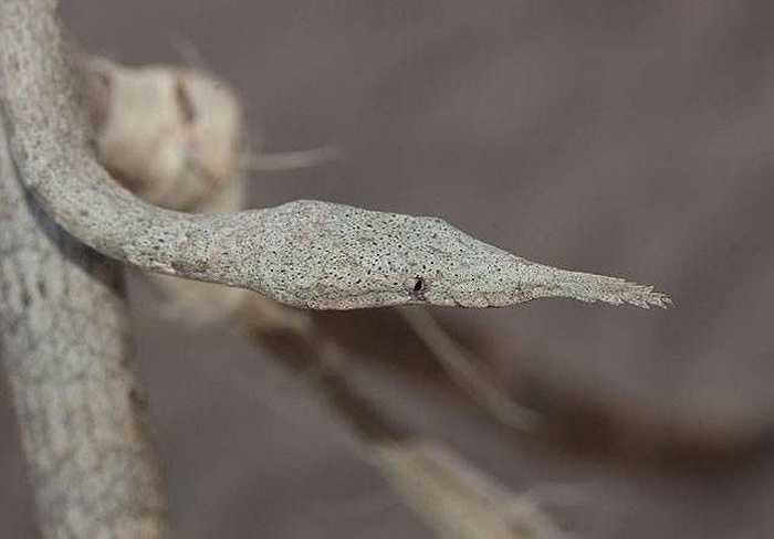 Rắn mũi lá Malagasy, chuyên sinh sống trên cây ở vùng Madagascar có chiếc mũi kỳ dị dùng để ngụy trang