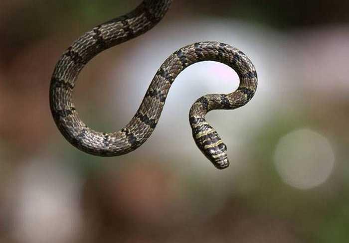 Rắn bay, loài rắn này có sức bật cực mạnh, phi thân qua các ngọn cây trong rừng