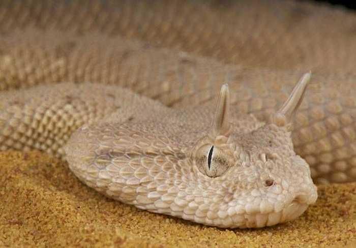 Rắn sừng sa mạc, sinh sống ở những sa mạc khô cằn Trung Đông, cặp sừng này giúp con rắn không bị tụ cát quanh mắt