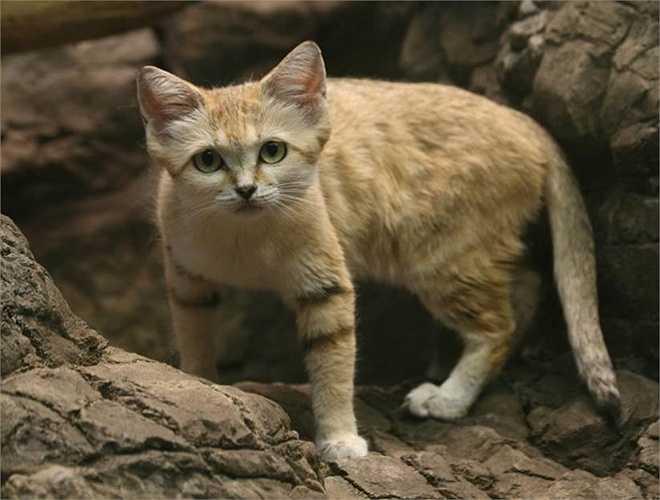 Mèo cát có tên khoa học là Felis Margarita, được đặt theo tên nhà khoa học khám phá ra chúng năm 1858
