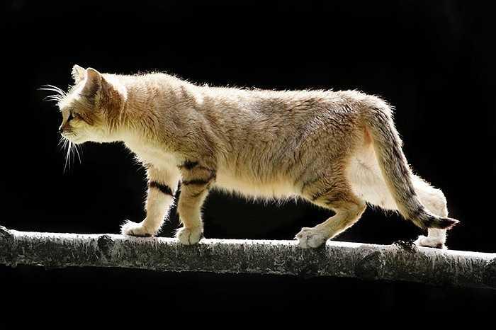 Đây là loài mèo duy nhất sinh sống thường xuyên ở sa mạc, chủ yếu ở vùng Bắc Phi