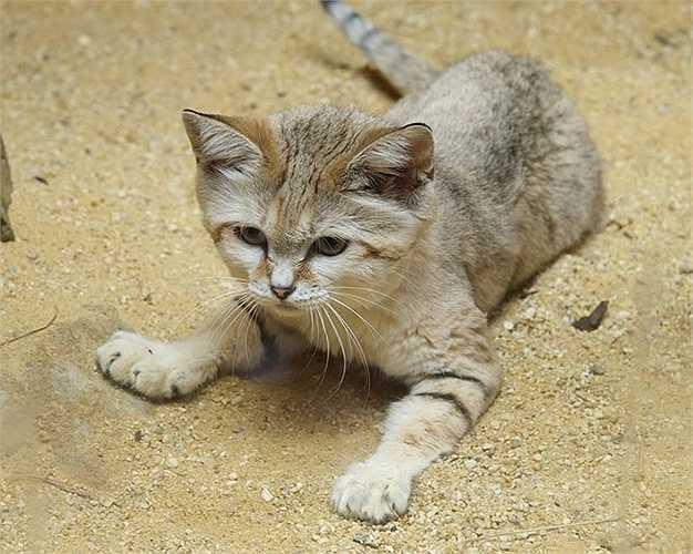 Mèo cát có thể xem như loài mèo bé nhất thế giới nhưng chúng lại không phải là giống thú cưng