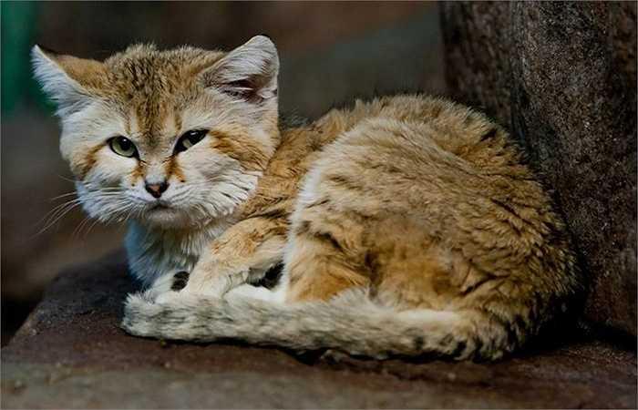 Những con mèo cát sống đơn độc, chúng chỉ gặp nhau khi đến mùa sinh sản