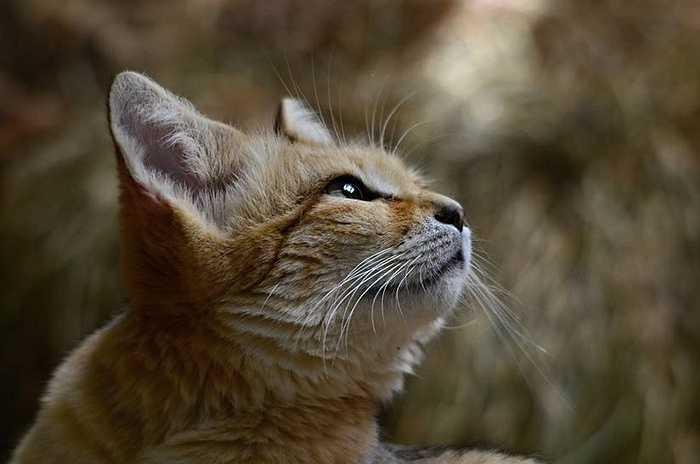 Mèo cát khi gọi nhau không kêu meo meo mà chúng sủa như giống chó chihuahua