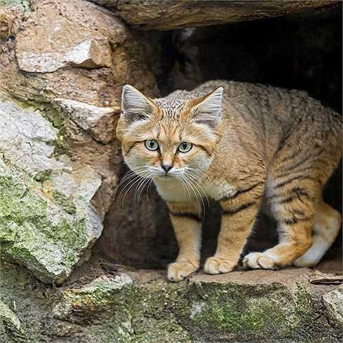 Giống mèo này có thể chạy với tốc độ 40km/h