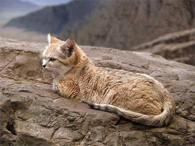 Các nhà khoa học trên thế giới đang tìm mọi cách để khôi phục giống mèo đặc biệt này