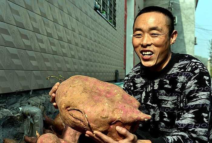 Một nông dân ở Hồ Bắc (Trung Quốc) đã thu hoạch được củ khoai lang khổng lồ. Bản thân người nông dân này chia sẻ, từ bé đến lớn chưa bao giờ thấy củ khoai lớn đến như vậy