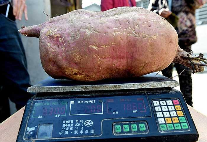 Đường kính củ khoai lên đến hơn 50cm, trong khi trọng lượng gần 10kg