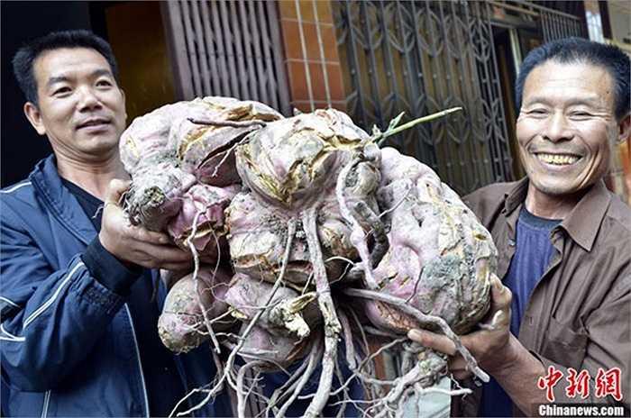 Người nông dân tên là Cheng Yue, Thành phố Thái Châu, tỉnh Chiết Giang cũng từng đào được củ khoai nặng 37kg