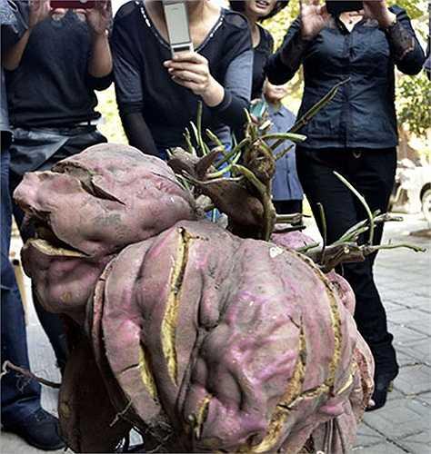 Ông Cheng không ngờ đào được củ khoai lớn như vậy. Đường kính củ khoai hơn 60cm. Thậm chí, ông cho biết, củ khoai này đủ cho gia đình ăn trong vài ba ngày