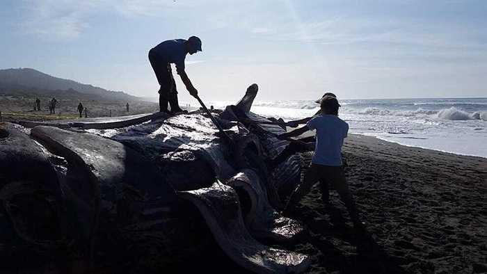 Tại bờ biển ở Oregan (Mỹ), một con cá voi dài 24m đã chết dạt vào bờ. Theo các chuyên gia, nguyên nhân của cái chết có thể là do hiện tượng ElNino