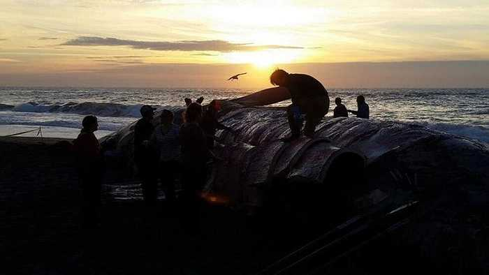 Theo cá nhà khoa học, sự nóng lên của nước biển - ElNino làm cho những con cá voi bị yếu đi và dẫn đến cái chết.