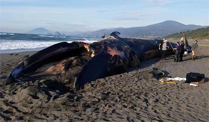 Trên thế giới hiện có 5.000 con cá voi xanh, một số nước có đạo luật riêng cấm săn bắt loại cá voi có nguy cơ tuyệt chủng này