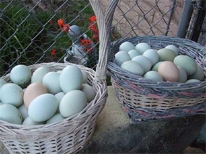 Trứng của gà Araucana có vỏ màu xanh nước biển hay xanh lá cây.