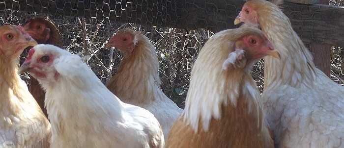 Giống gà quý hiếm này có nguồn gốc từ Nam Mỹ, gần phía bắc Chile và lần đầu tiên được nhân giống thành công ở nước này vào những năm 1930.