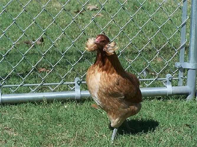 Giống gà này cũng có khá nhiều màu sắc như màu vàng, trắng, đen, màu tro...
