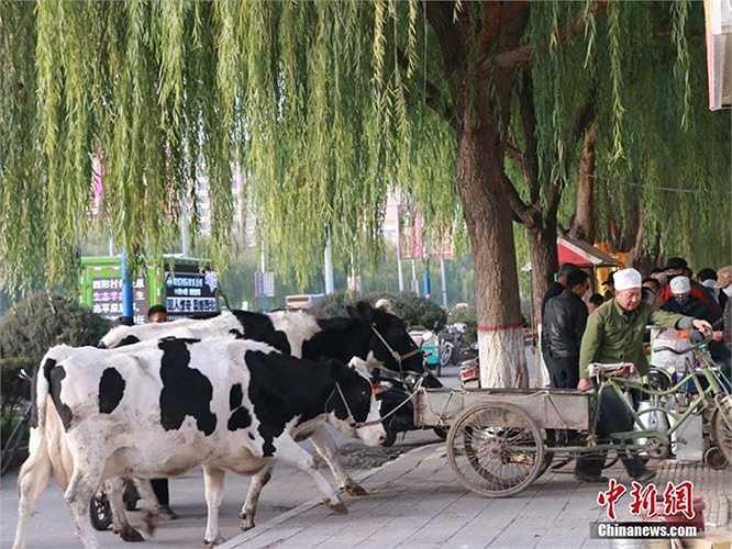Một người nông dân ở Cam Túc (Trung Quốc) đã dẫn 2 con bò sữa vào thành phố để vắt sữa bán cho khách hàng. Nhiều người xếp hàng để mua sữa tươi vắt tại chỗ