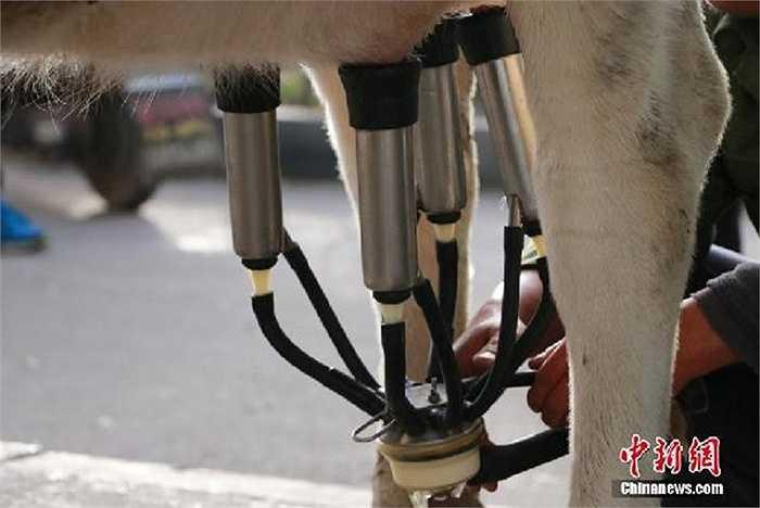 Máy vắt sữa hoạt động hết công suất tại chỗ. Mỗi buổi sáng, lượng sữa thu được lên đến hàng chục lít. Tuy nhiên lượng người mua quá đông nên nhiều người đến rất sớm