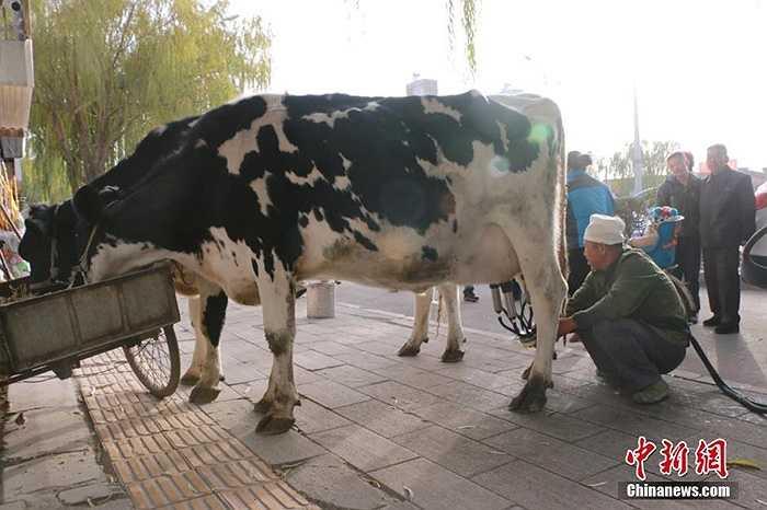 Hai con bò sữa được cho ăn đồ ăn trong khi người chủ đang vắt sữa liên tục để bán cho khách