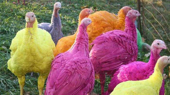 Trang trại gà tây Gozzi lại thu về hàng triệu đô mỗi năm nhờ việc cung cấp