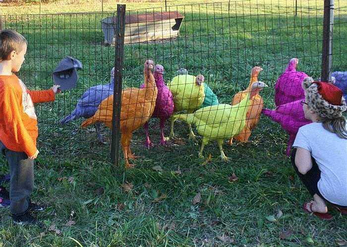 Anh Gozzi cho biết, trang trại của anh cung cấp khoảng 15.000 con gà tây mỗi năm cho thị trường.