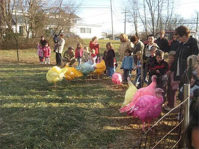 Đông đảo du khách đến ngắm những con gà tây 7 sắc cầu vồng.