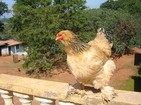 Brahma <a href='http://vtc.vn/suc-khoe.321.0.html' >sinh sản</a> khoảng 70 - 90 trứng/năm, trứng nặng khoảng 55-60g