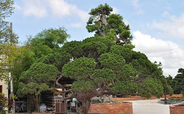 Một cây tùng trong khuôn viên của ông Bê Trầm