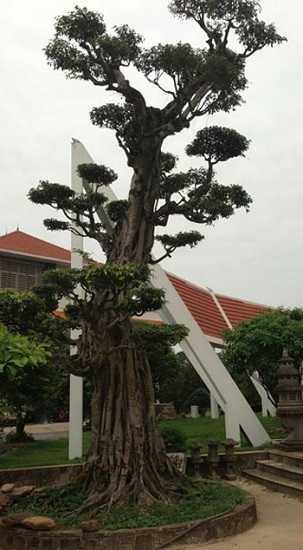 Một trong những cây cảnh thuộc hàng khủng trong vườn nhà đại gia Phiến cá.