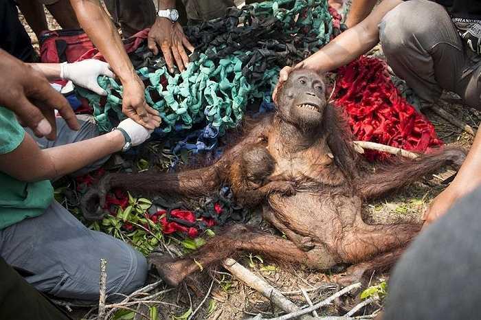 Nhóm bảo vệ động vật IAR cứu một con đười ươi và con của nó sau khi chúng cố gắng thoát khỏi đám cháy rừng và sự truy đuổi của dân làng ở Katapang, tỉnh Tây Kalimantan, Indonesia