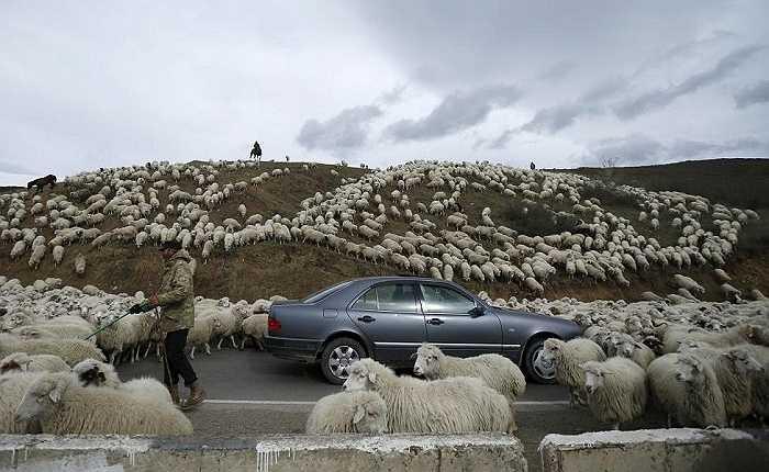 Đàn cừu tràn qua đường từ một cánh đồng bên ngoài Tbilisi, Georgia ngày 11/11