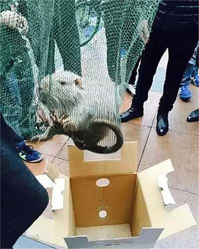 Vừa qua, thầy và trò trường Đại học Y Ôn Châu, Trung Quốc đã vô cùng bất ngờ và kinh khiếp khi phát hiện một con chuột khổng lồ đang lang thang đi dạo trong khuôn viên trường.