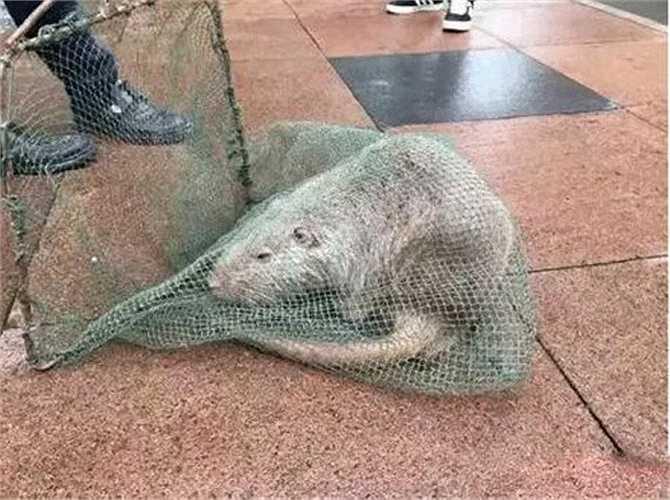 Chưa bao giờ thấy một con chuột nào lớn đến vậy, Triệu Kiến Trung, đội trưởng đội bảo vệ của trường đã nhanh chóng triệu tập lực lượng, sử dụng những chiếc lưới và vây bắt thành công con chuột quái vật này, đảm bảo cho học sinh cũng như thầy cô trong trường.