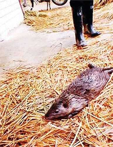 Nó đã bị người dân bắt được khi bò xuống ao và ăn trộm một con cá nặng 3kg sau đó nuốt chửng.