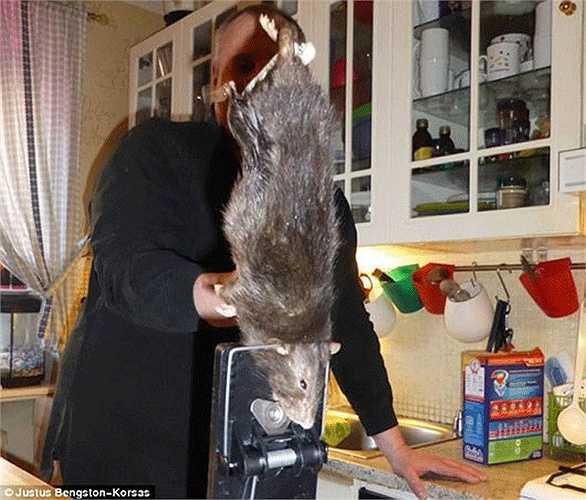 Ở Thụy Điển, một hộ gia đình cũng đã bẫy được một con chuột khổng lồ có khả năng đục thủng tường bê tông và 'khủng bố' mèo nhà.