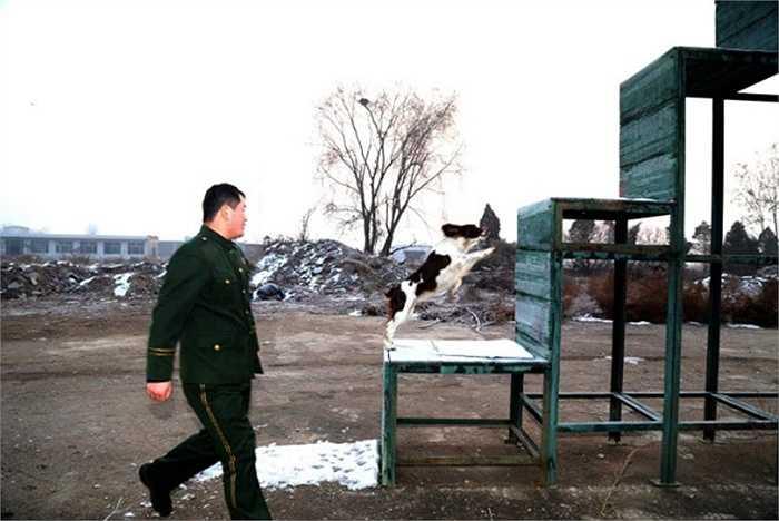 Chú chó và Zhang trong những bài tập cùng nhau